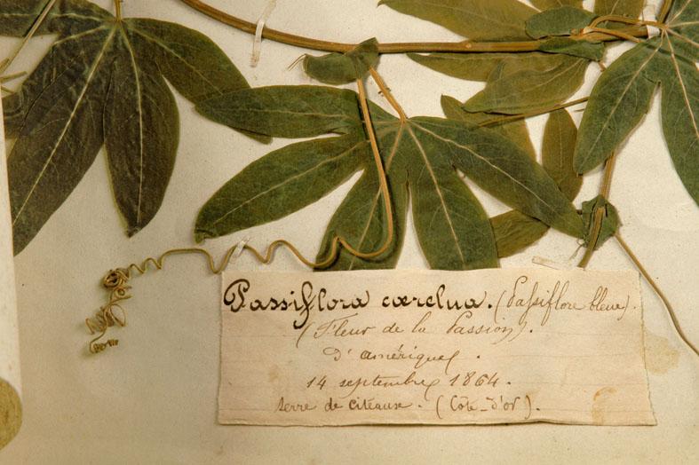 Passiflora_caerulea.jpg