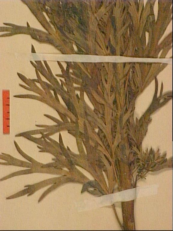 Aconitum-corsicum-feu.JPG