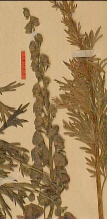 Aconitum-corsicum-fle.JPG