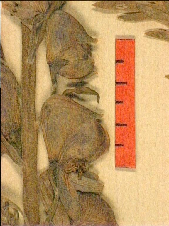 Aconitum-corsicum-fle2.JPG