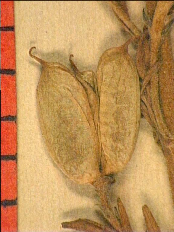 Aconitum-corsicum-frui2.JPG