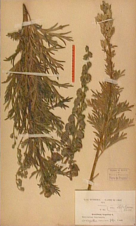 Aconitum-corsicum.JPG
