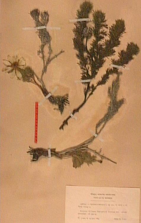 Adonis-vernalis (1).JPG