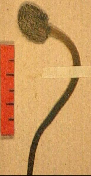 Anemone-coronaria-fru.JPG
