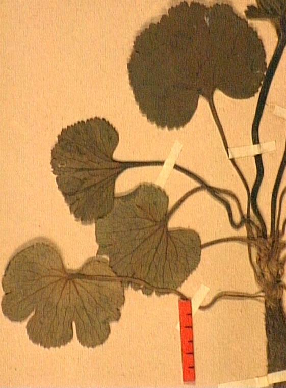 anemone-palmata-fe.JPG