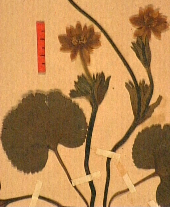 anemone-palmata-fe2.JPG