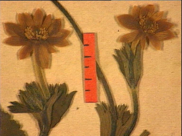 anemone-palmata-fle.JPG