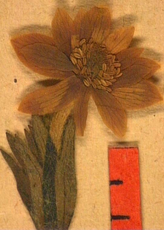 anemone-palmata-fle2.JPG