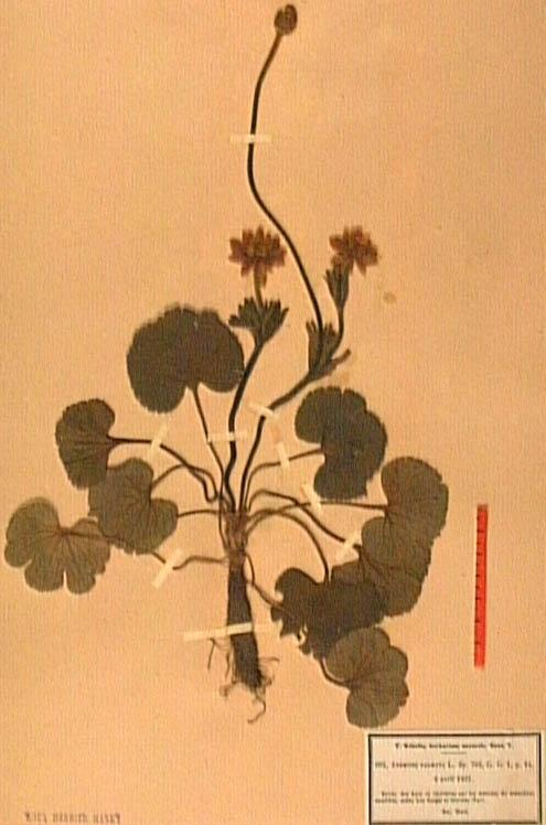 anemone-palmata.JPG
