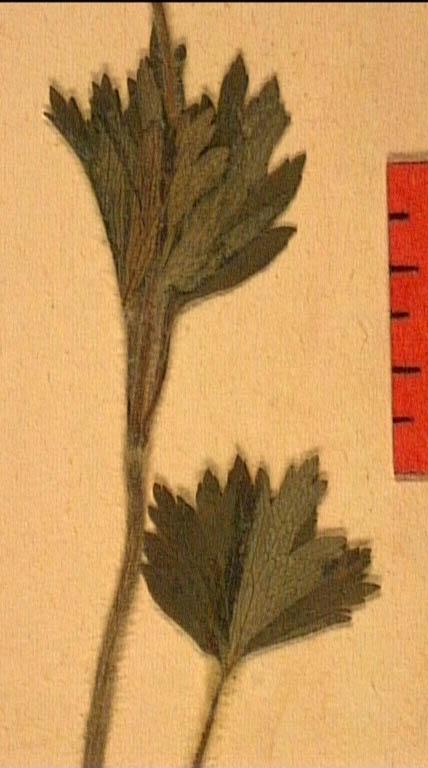Anemone-sylvestris-fe2.JPG