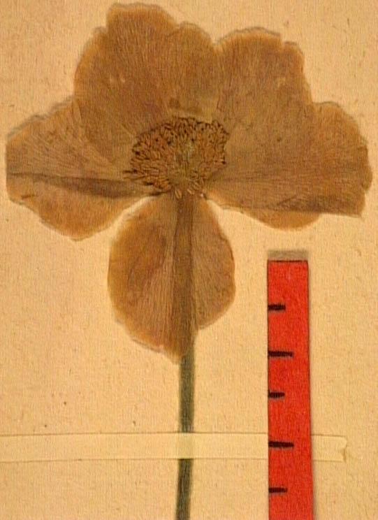 Anemone-sylvestris-fle.JPG