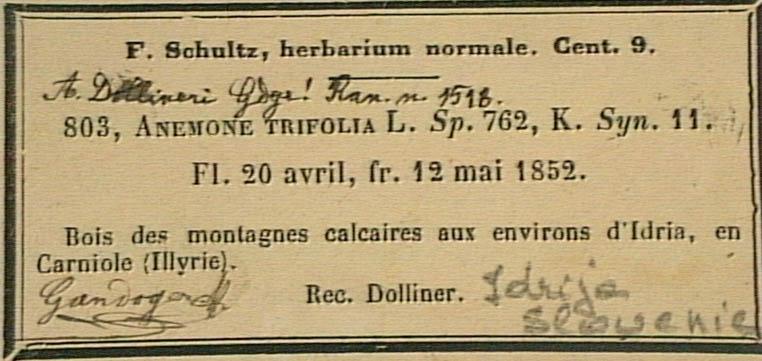 Anemone-trifolia-eti.JPG