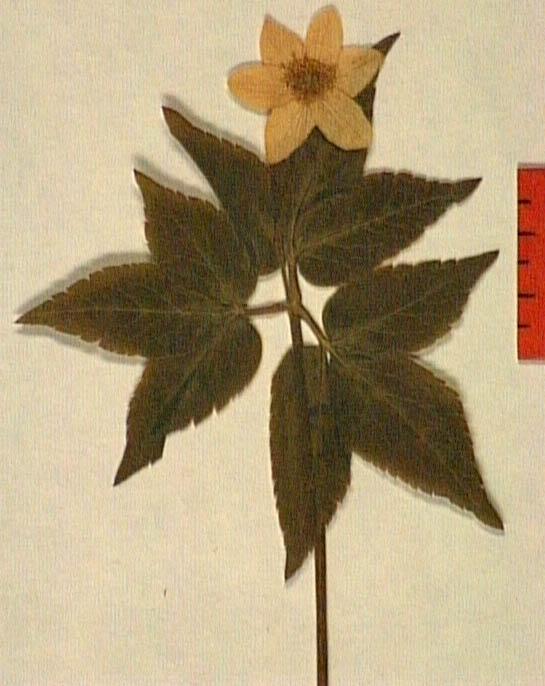 Anemone-trifolia-fe.JPG
