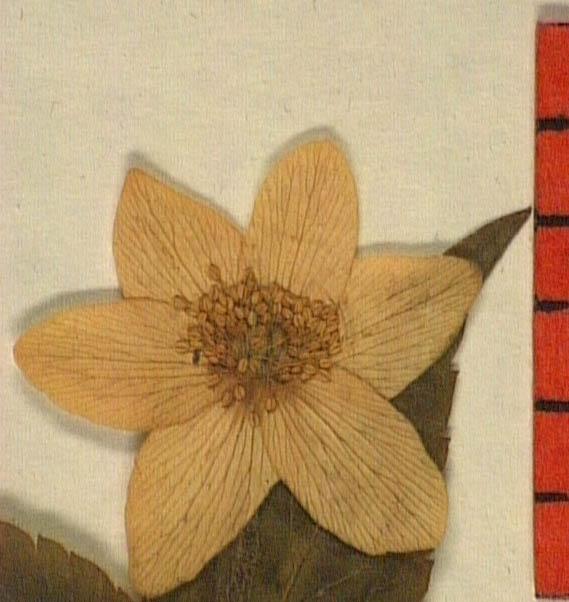 Anemone-trifolia-fle.JPG