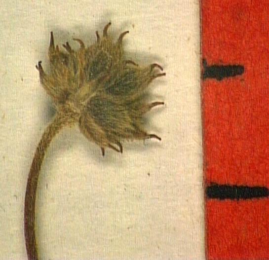 Anemone-trifolia-fru.JPG