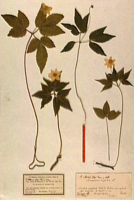 Anemone-trifolia.JPG