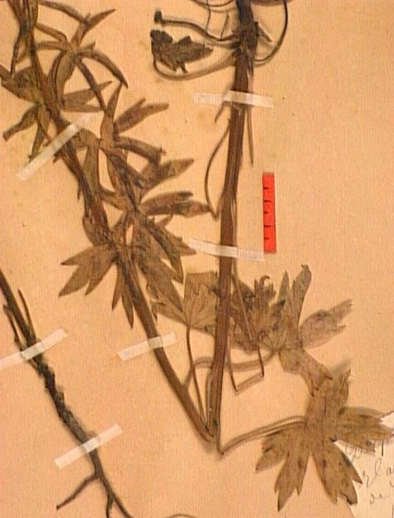 Delphinium-requienii-fe.JPG