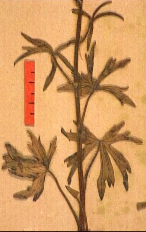 Delphinium-requienii-fe3.JPG