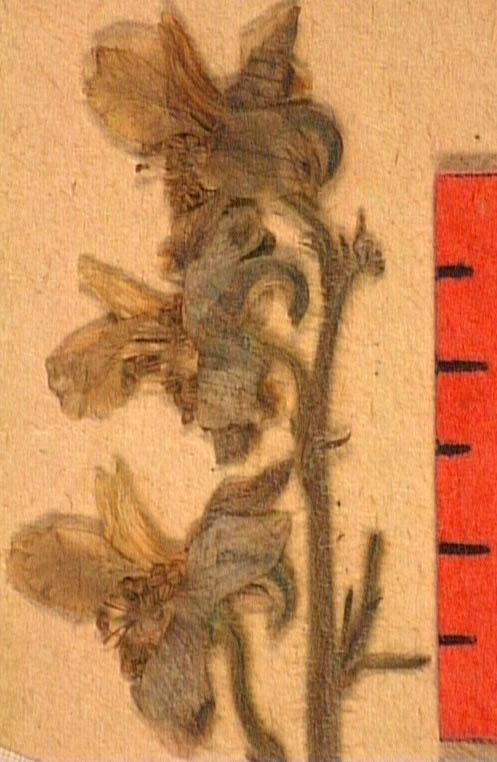 Delphinium-requienii-fle.JPG