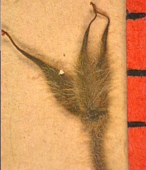 Delphinium-requienii-fru.JPG