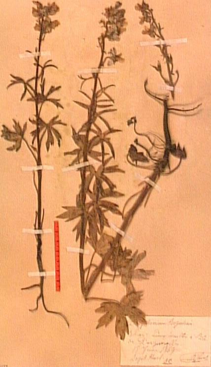 Delphinium-requienii.JPG