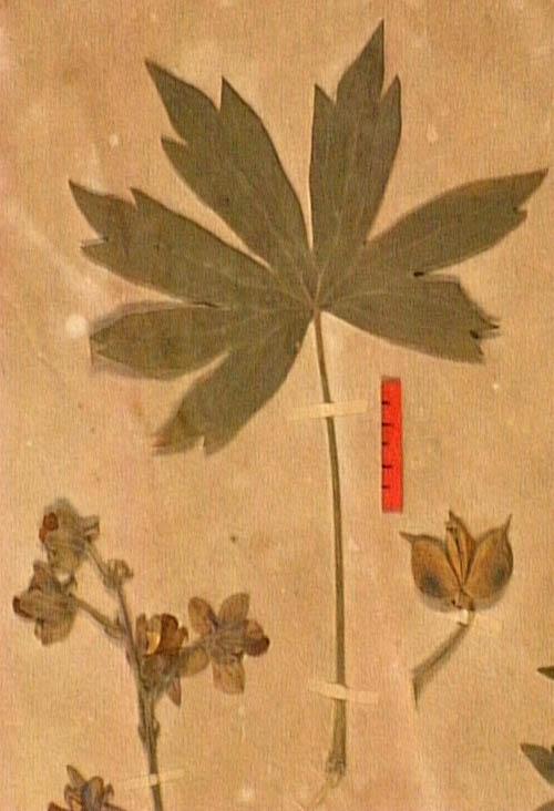 Delphinium-staphisagria-fe.JPG