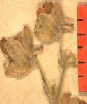 Delphinium-staphisagria-fle-150.JPG