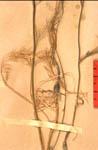 Garidella-nigellastrum-fe-150.JPG