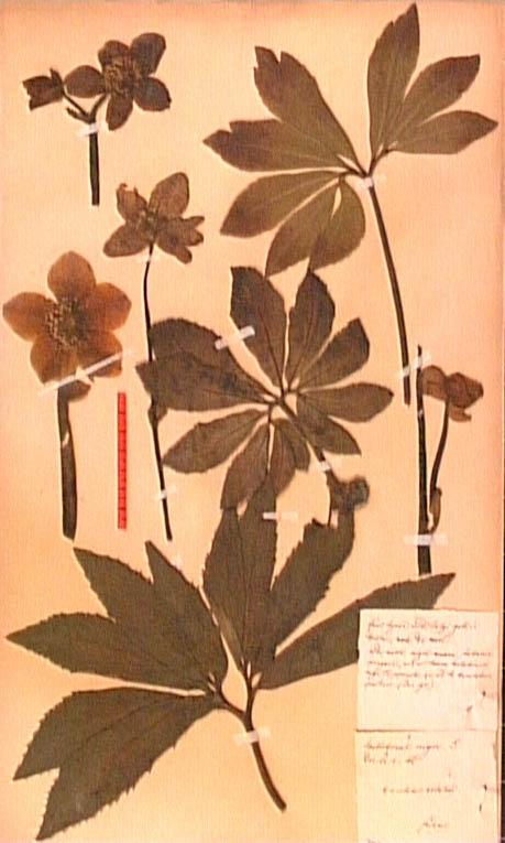 Helleborus-niger.JPG