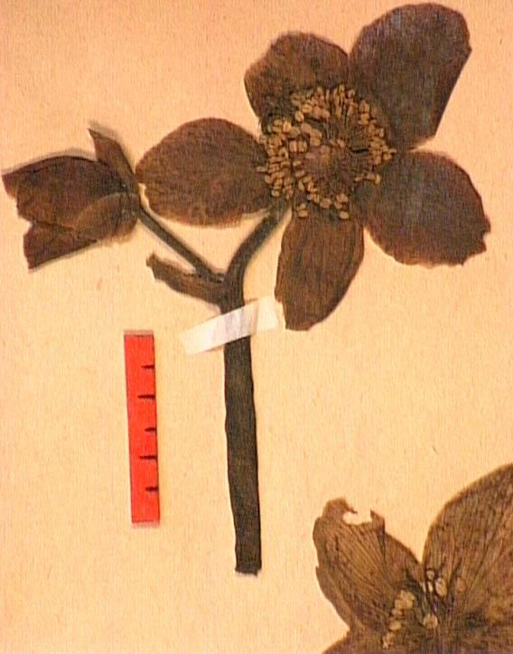 Helleborus-niger-fle.JPG