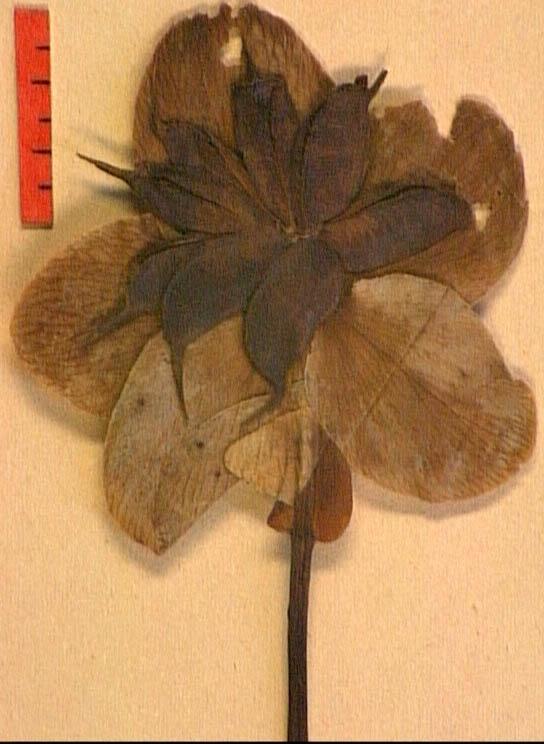 Helleborus-niger-fr.JPG
