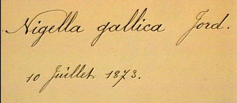 Nigella-gallica-eti.JPG