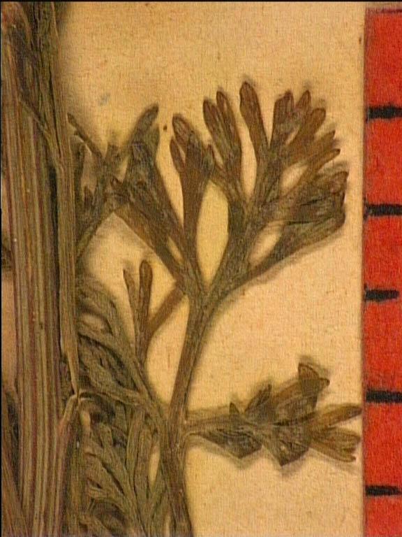 Nigella-gallica-fe2.JPG