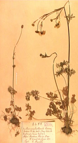 Ranunculus-canuti-250.jpg