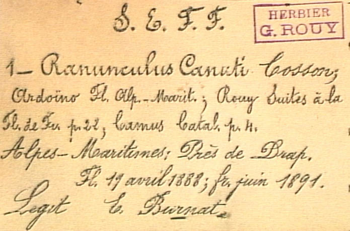 Ranunculus-canuti-eti.JPG