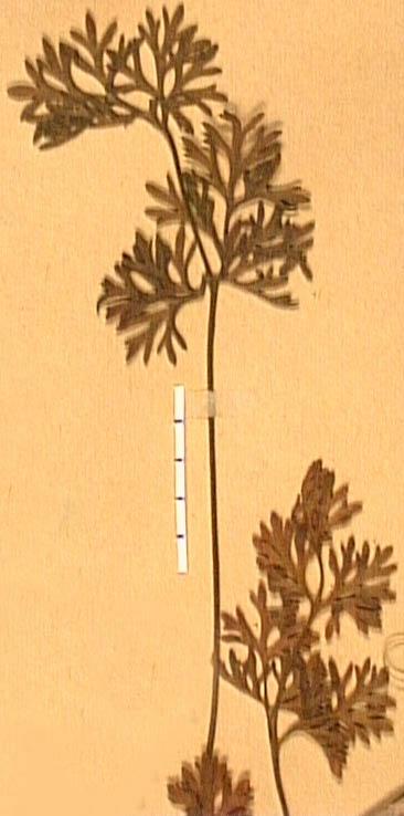 Ranunculus-canuti-fe.JPG