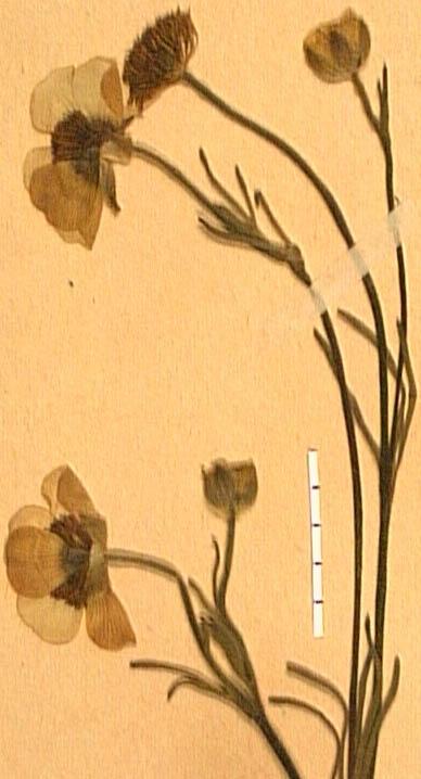 Ranunculus-canuti-fle.JPG