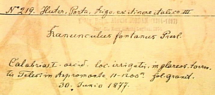 Ranunculus-fontanus-eti.JPG
