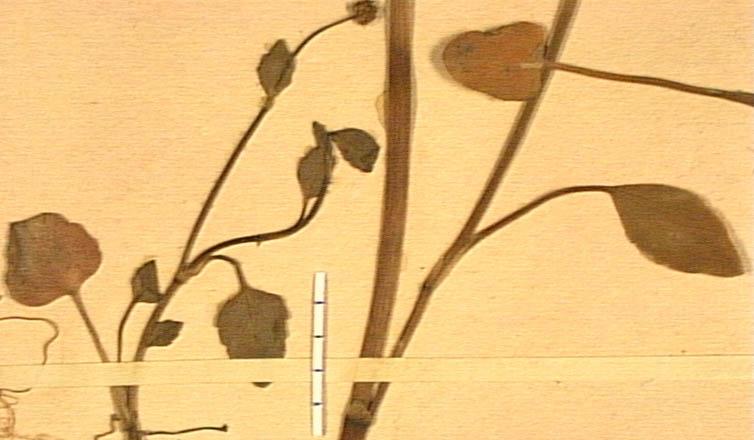 Ranunculus-fontanus-fe.JPG
