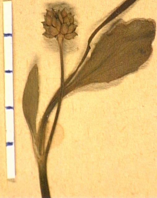 Ranunculus-fontanus-fru.JPG