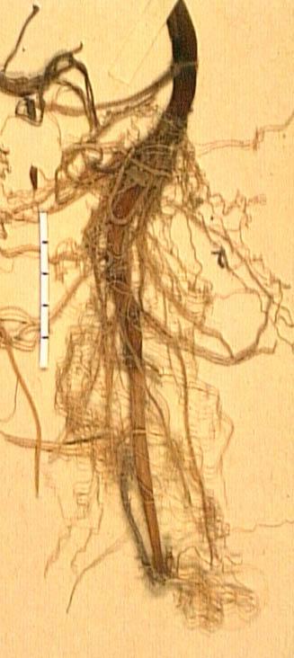 Ranunculus-fontanus-ra.JPG