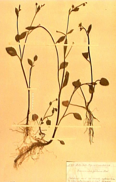 Ranunculus-fontanus.JPG
