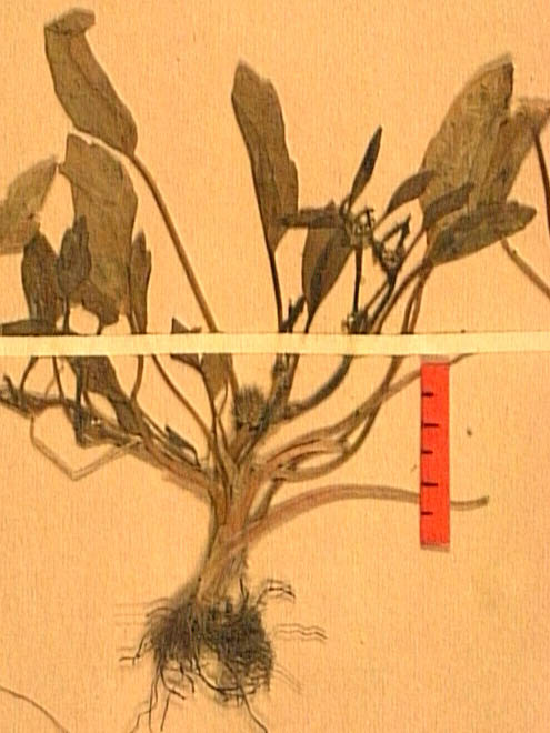Ranunculus-lateriflorus-fe.JPG