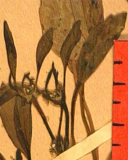 Ranunculus-lateriflorus-fle.JPG