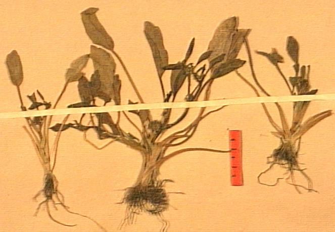 Ranunculus-lateriflorus.JPG