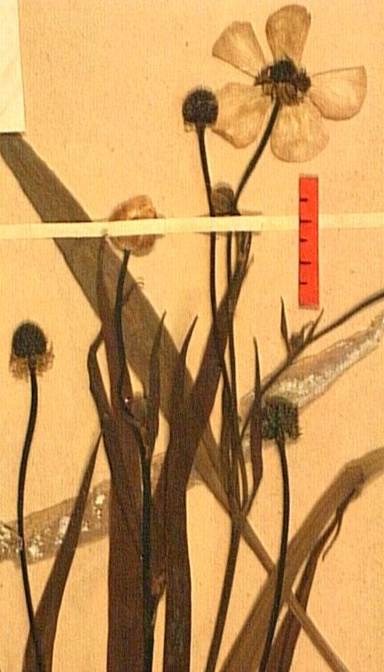 Ranunculus lingua fleur1.JPG