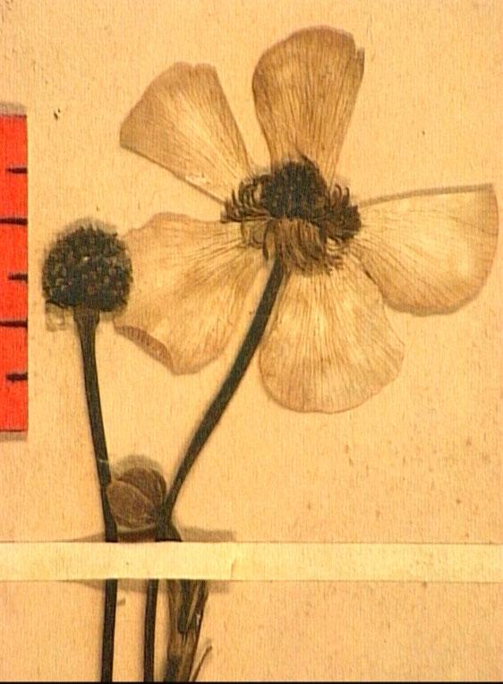 Ranunculus lingua fleur2.JPG