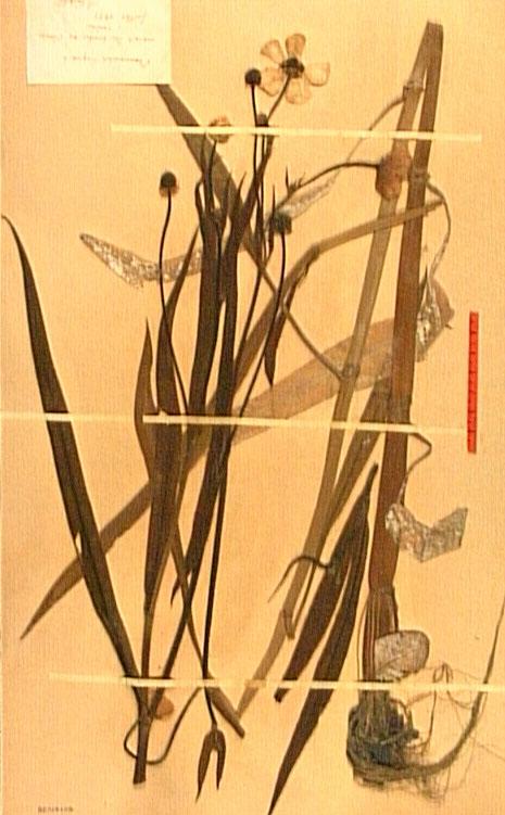 Ranunculus lingua.JPG