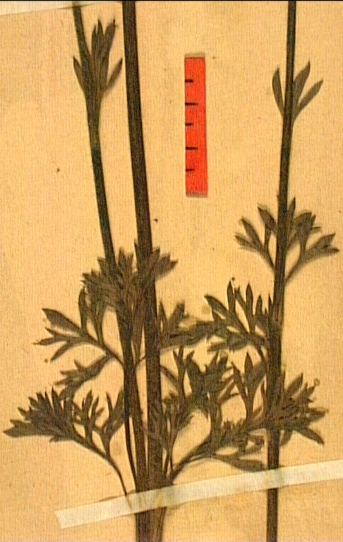 Ranunculus millefoliatus fe2.JPG