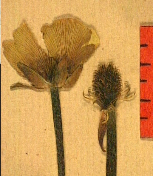 Ranunculus millefoliatus fleu.JPG